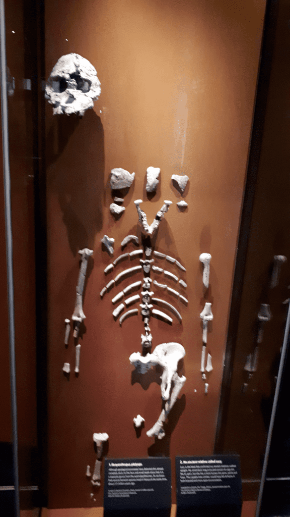 Lucy Skeleton at the Natural History Museum London