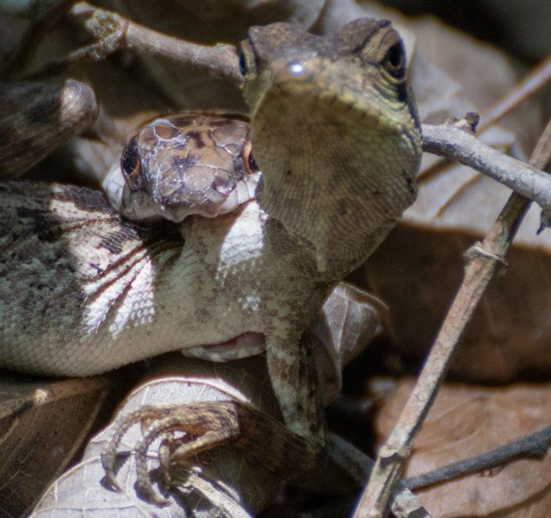 lizard captured by a snake