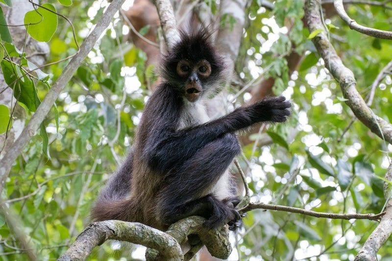 Spider Monkey in the Punta Laguna Spider Monkey Reserve Mexico