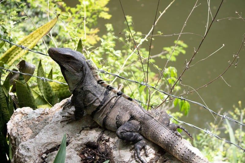 iguana at the sacred cenote in chichen itza